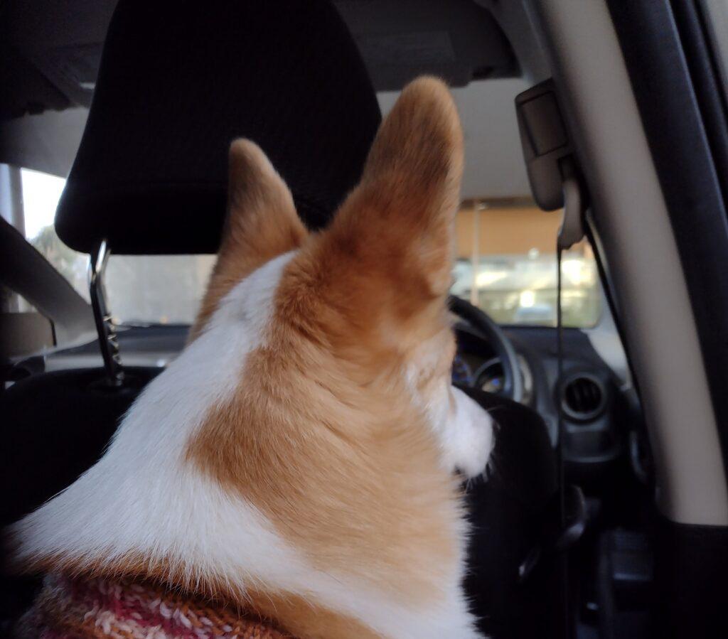 車の後部座席で前を見るコーギー