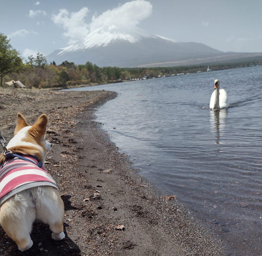 コーギーと山中湖と富士山
