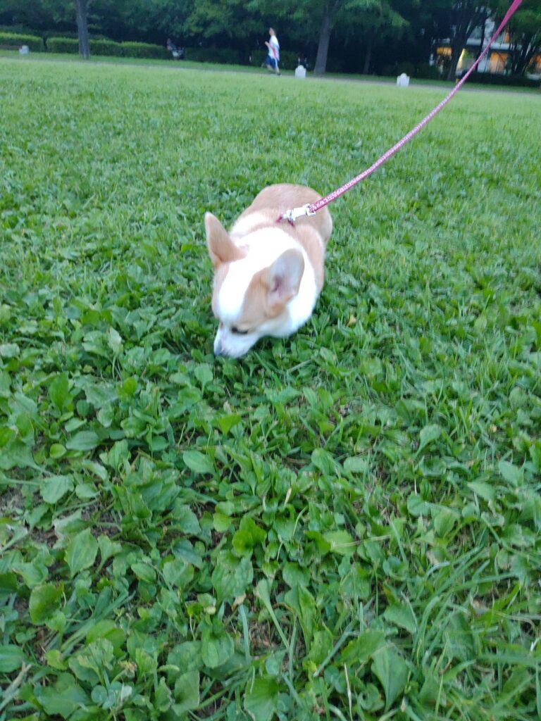 公園で草のにおいをかぐコーギー