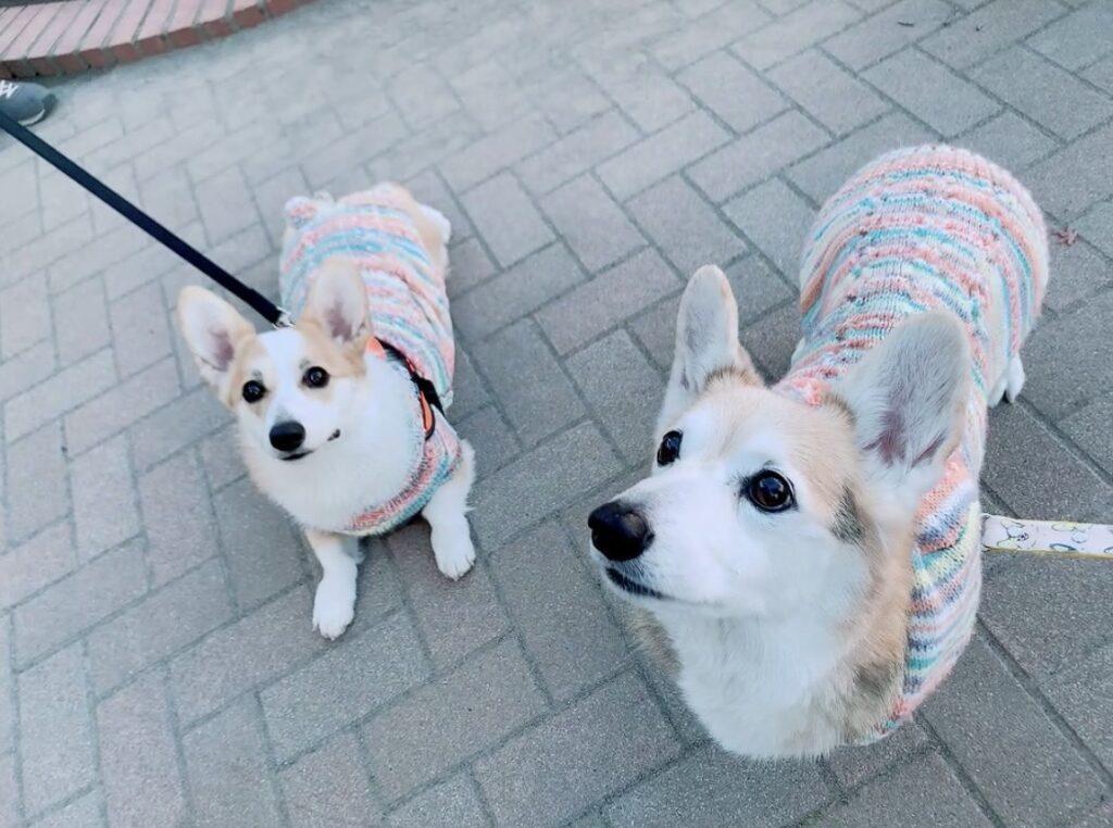 セーターを着て散歩するコーギー2匹