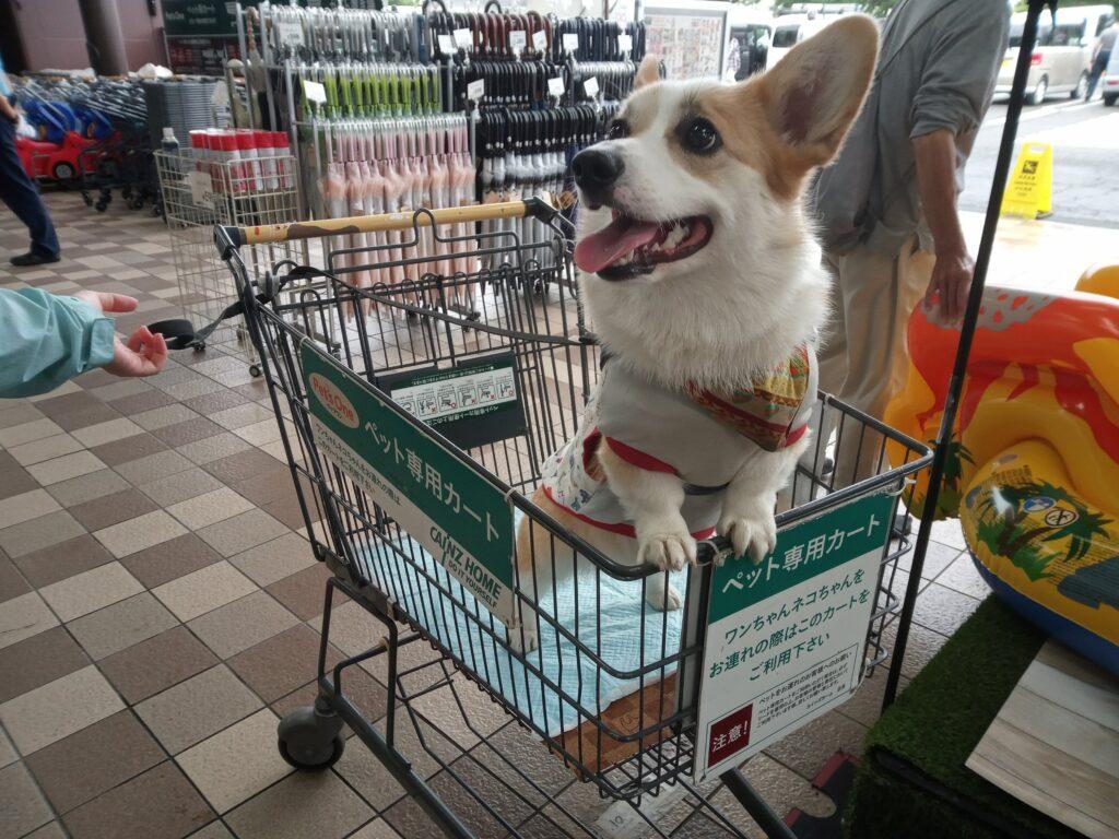 ショッピングカートの上でこぎげんなコーギー
