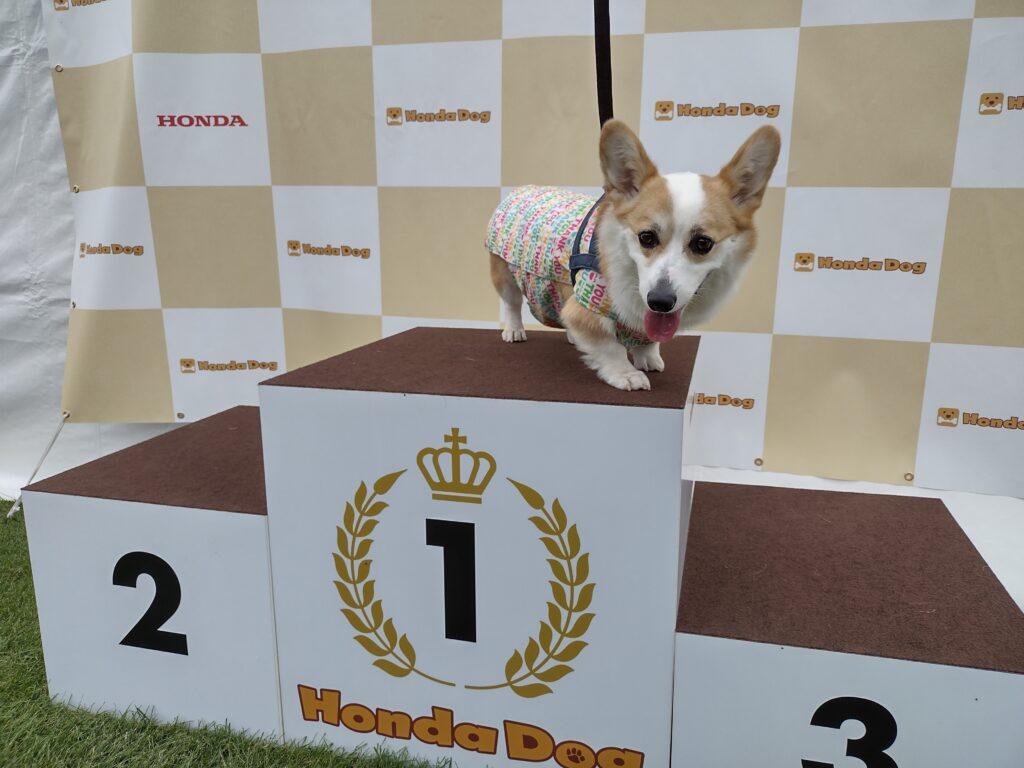 Honda dogの表彰台に上がるコーギー