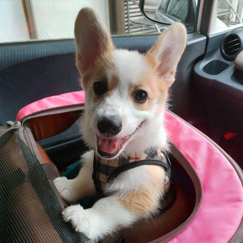 車の助手席で笑顔のコーギー