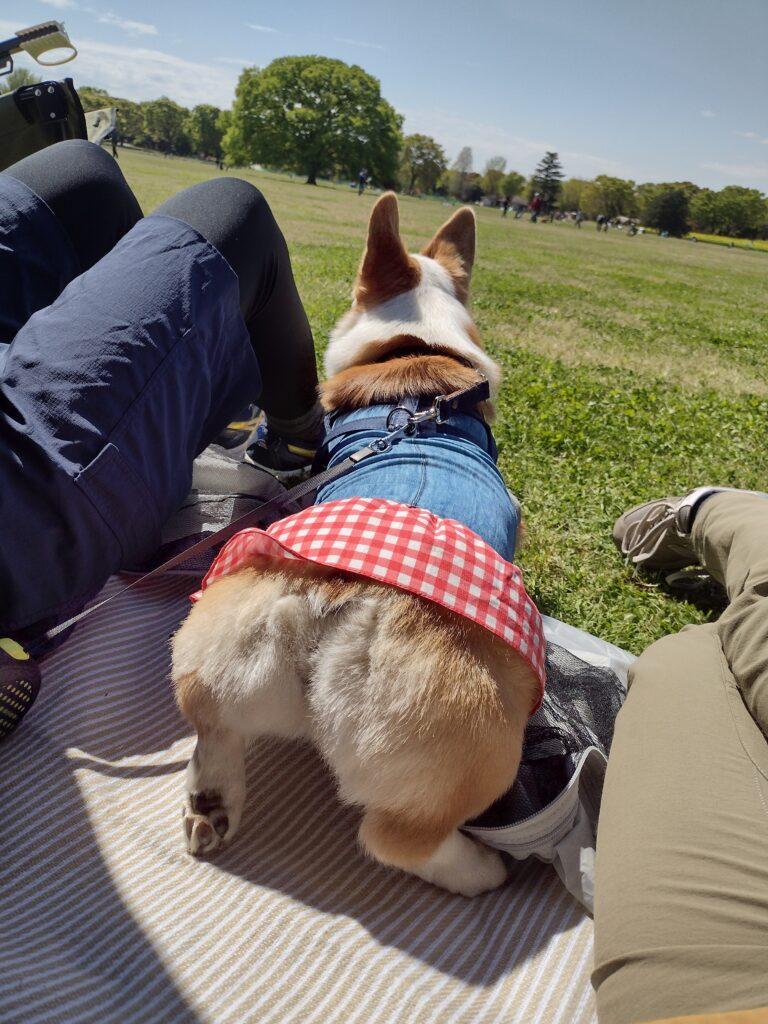 芝生を向いて座るコーギー