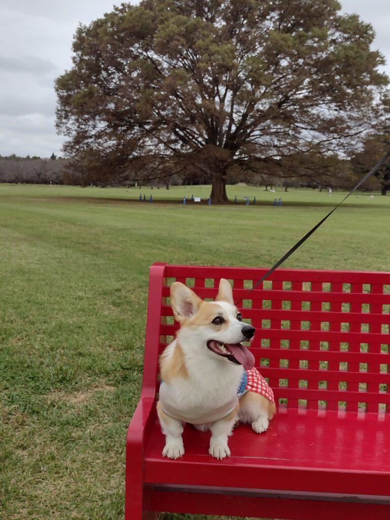ベンチに座るコーギー
