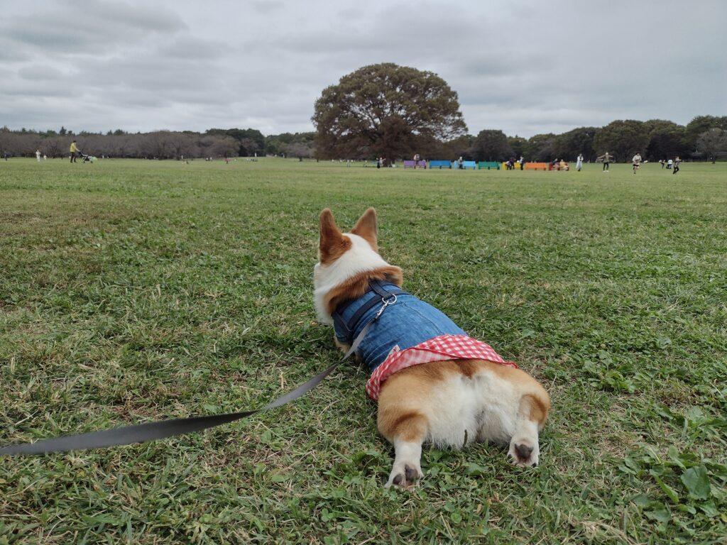 芝生の上で寝転ぶコーギー